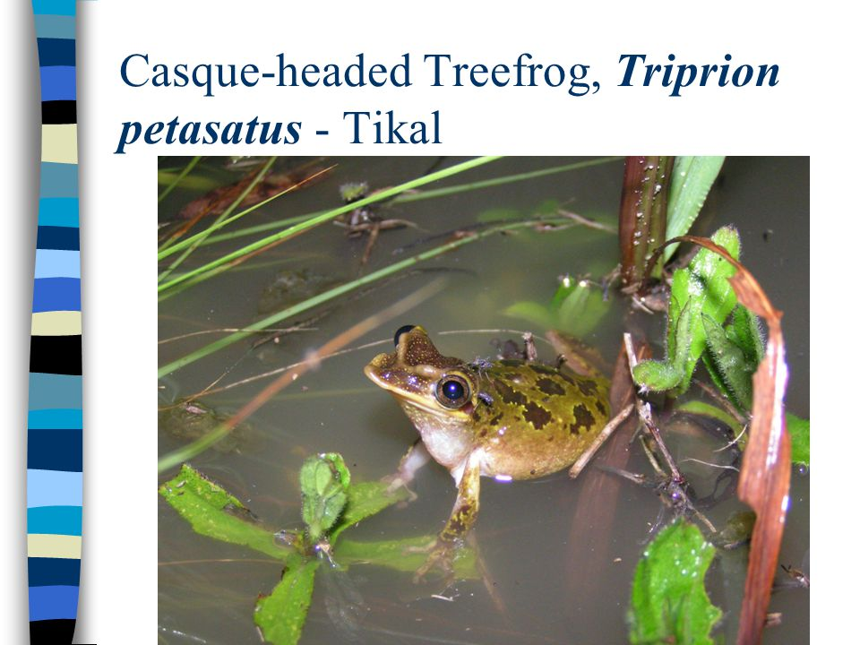 Casque-headed Treefrog, Triprion petasatus - Tikal