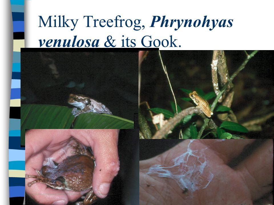 Milky Treefrog, Phrynohyas venulosa & its Gook.