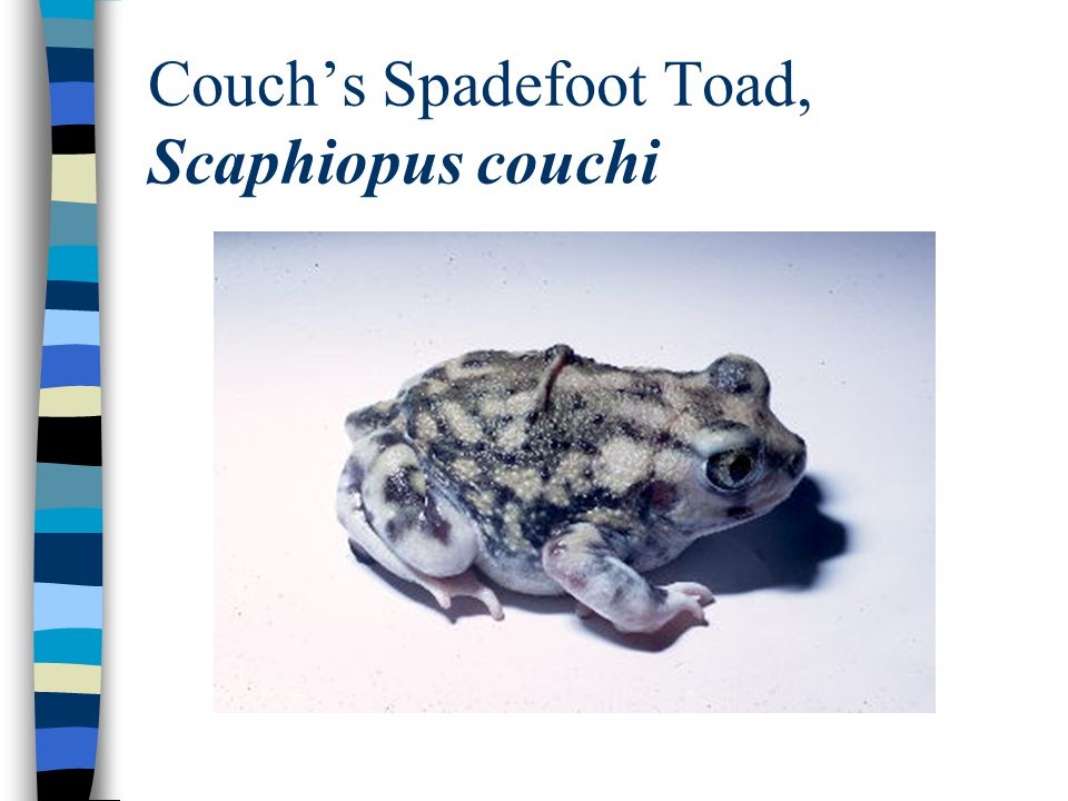 Couch's Spadefoot Toad, Scaphiopus couchi