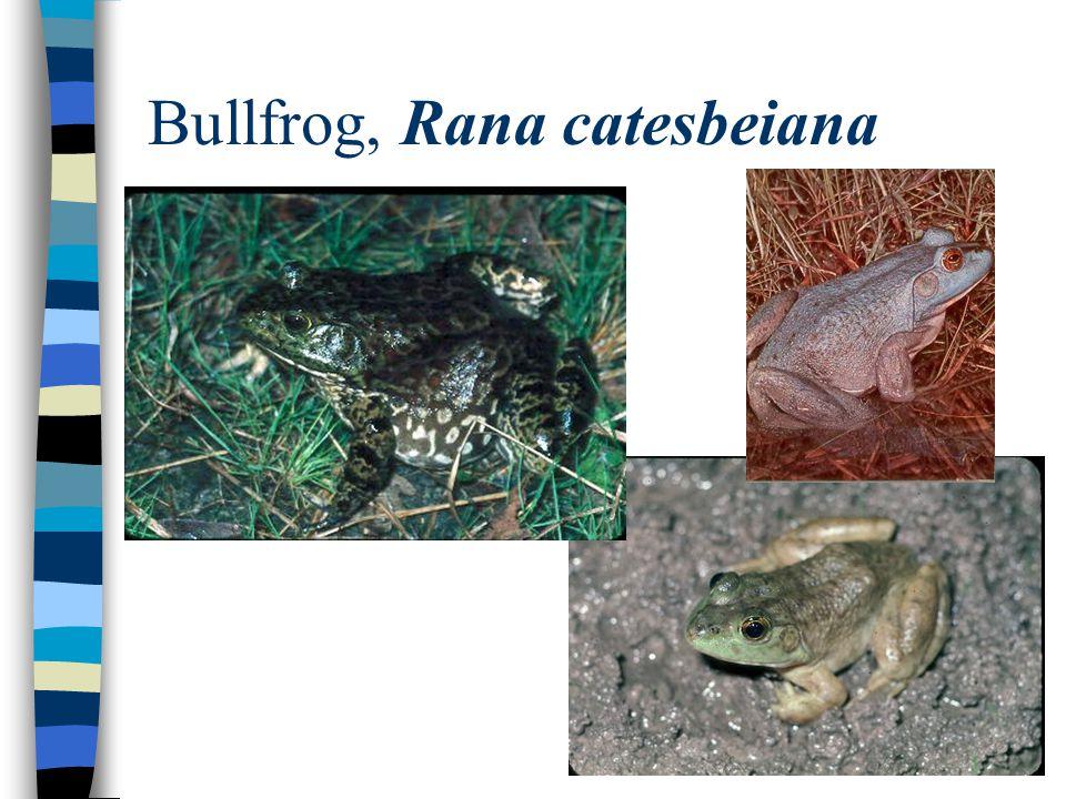 Bullfrog, Rana catesbeiana