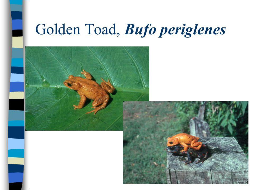 Golden Toad, Bufo periglenes