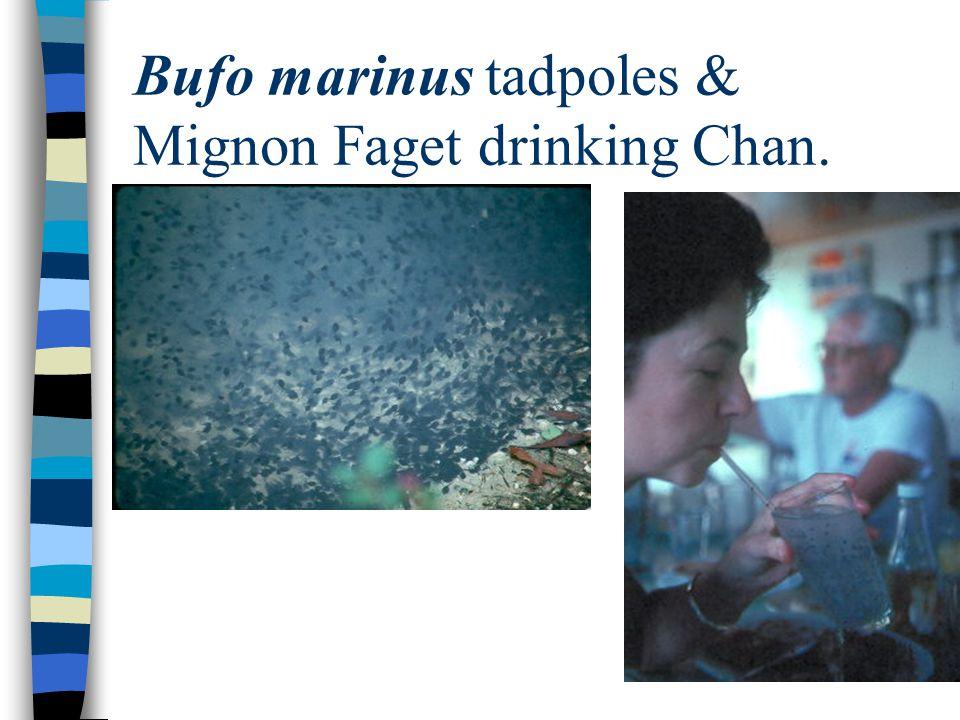 Bufo marinus tadpoles & Mignon Faget drinking Chan.