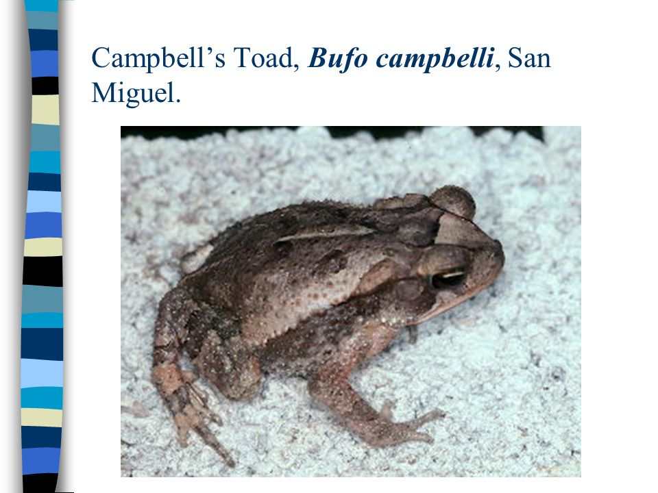 Campbell's Toad, Bufo campbelli, San Miguel.