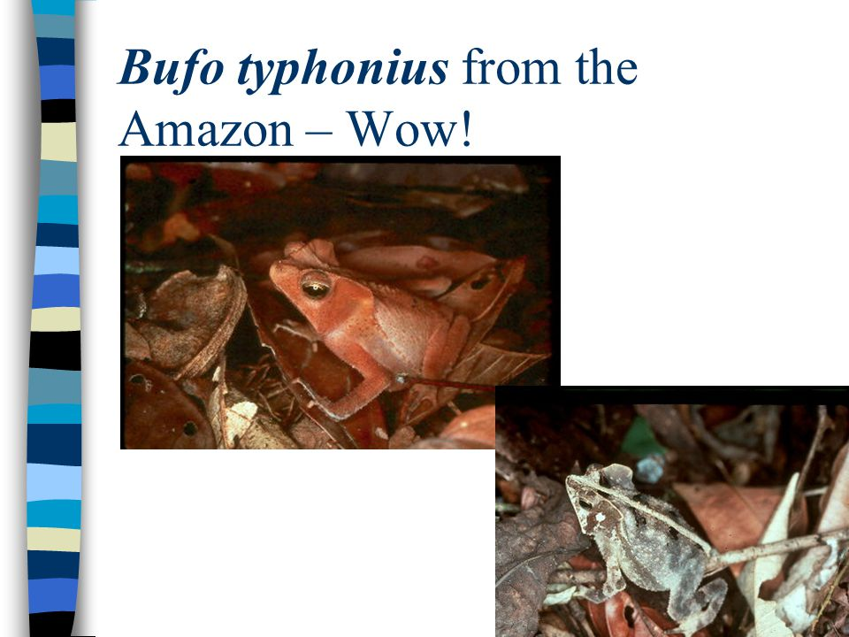 Bufo typhonius from the Amazon – Wow!
