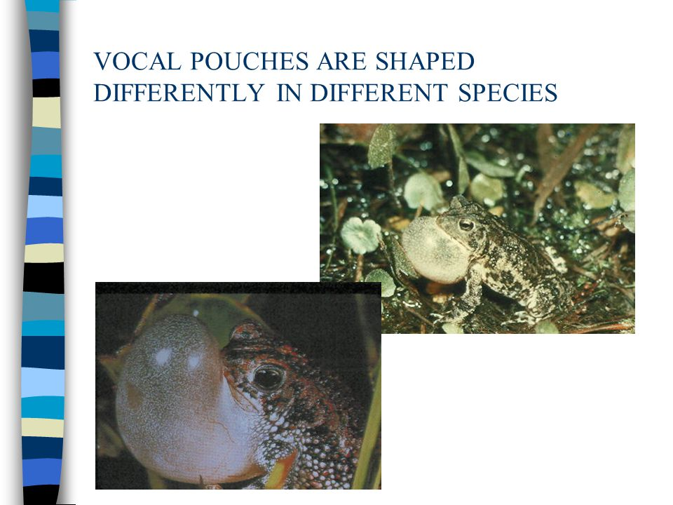 VOCAL POUCHES ARE SHAPED DIFFERENTLY IN DIFFERENT SPECIES