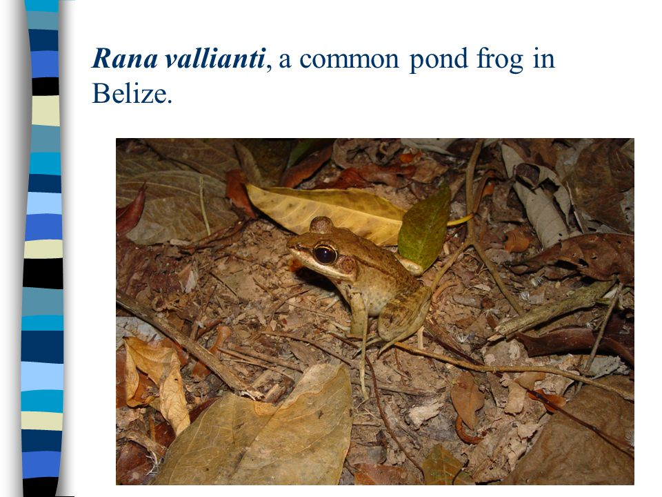 Rana vallianti, a common pond frog in Belize.