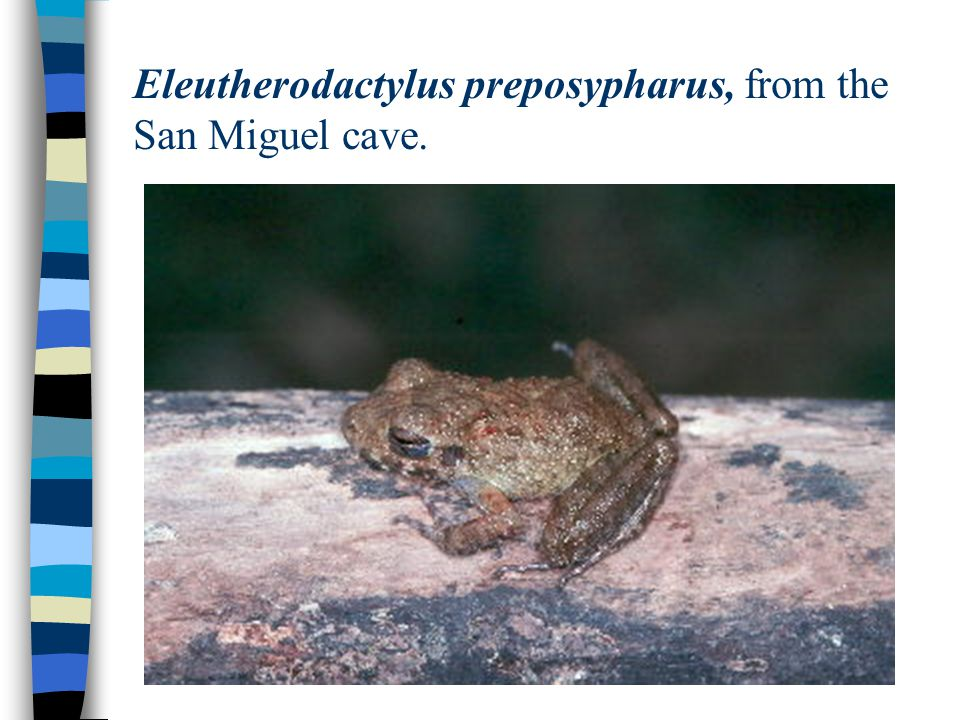 Eleutherodactylus preposypharus, from the San Miguel cave.