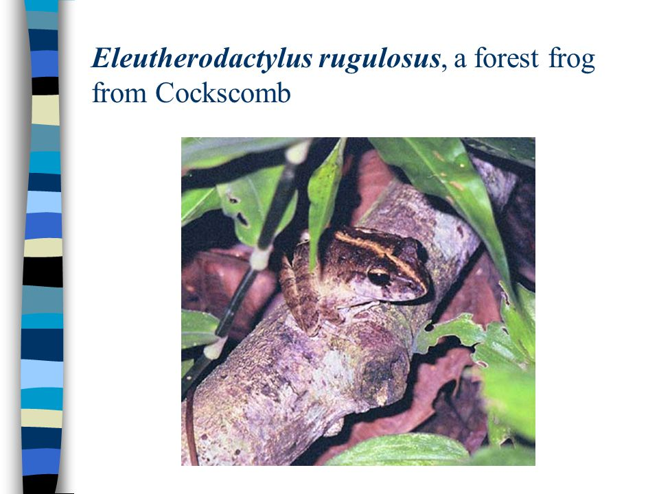 Eleutherodactylus rugulosus, a forest frog from Cockscomb
