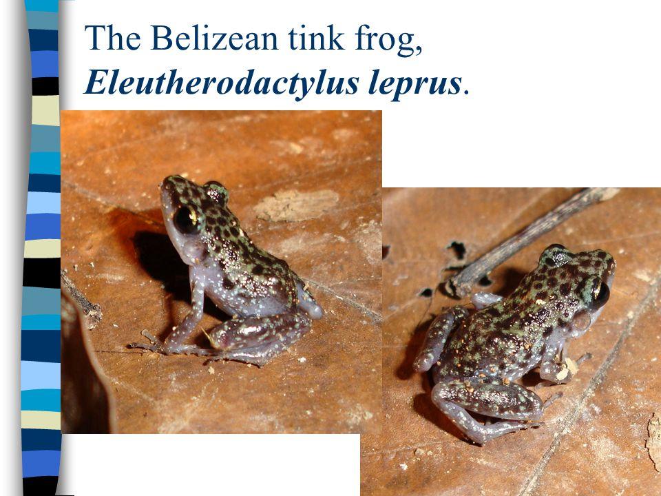The Belizean tink frog, Eleutherodactylus leprus.