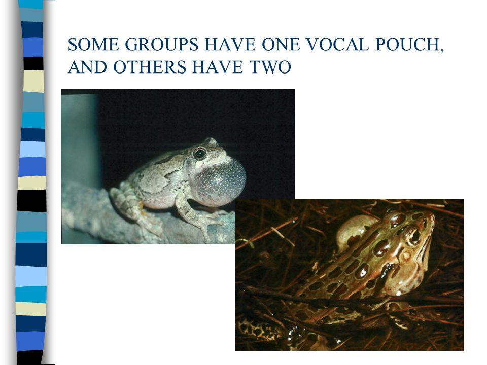Hyla geographica (l) & Yellow Cricket Treefrog, H. microcephala (r)