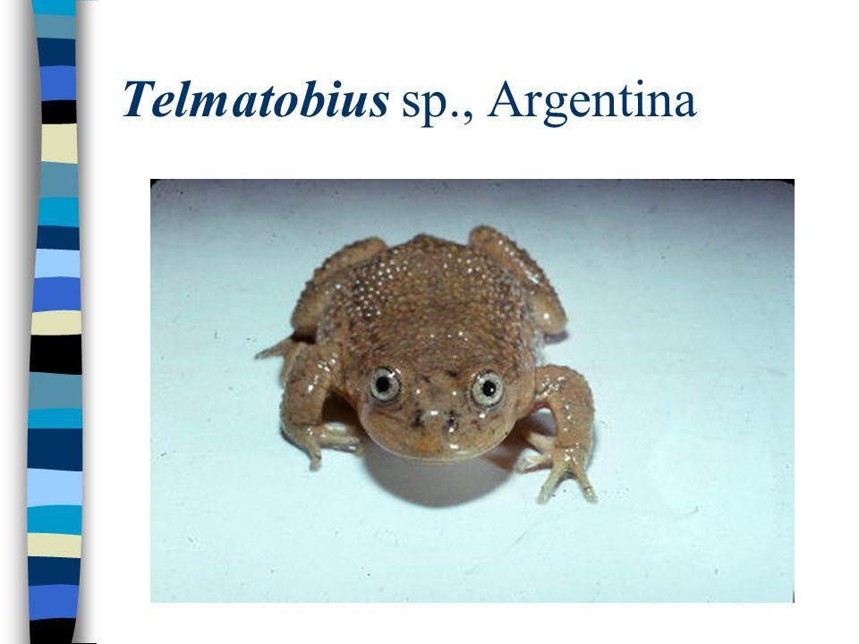 Telmatobius sp., Argentina