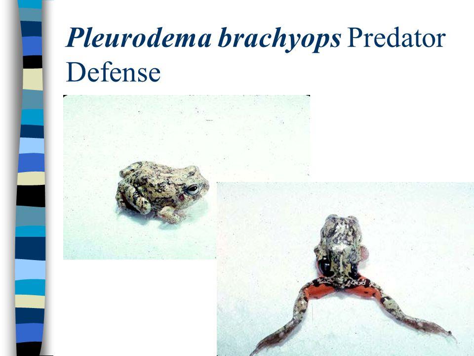 Pleurodema brachyops Predator Defense