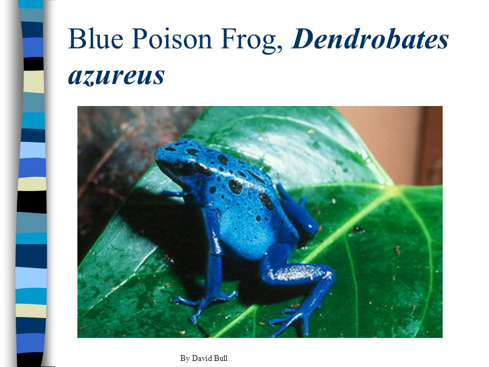 Blue Poison Frog, Dendrobates azureus By David Bull