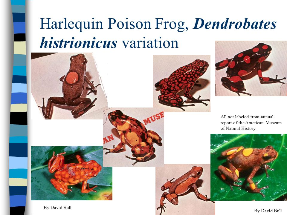 Harlequin Poison Frog, Dendrobates histrionicus variation By David Bull All not labeled from annual report of the American Museum of Natural History.