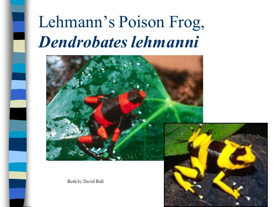 Lehmann's Poison Frog, Dendrobates lehmanni Both by David Bull