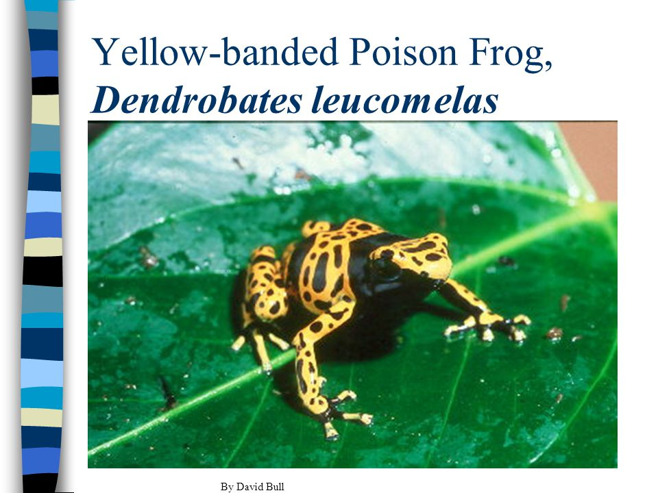 Yellow-banded Poison Frog, Dendrobates leucomelas By David Bull