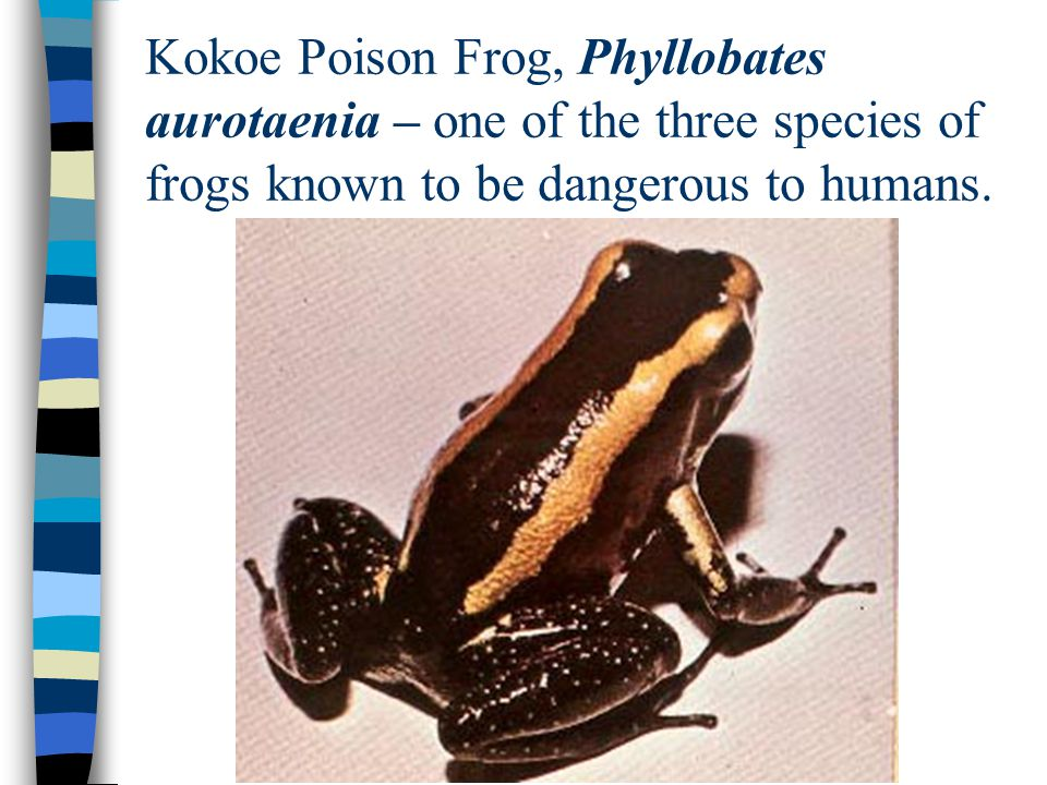 Kokoe Poison Frog, Phyllobates aurotaenia – one of the three species of frogs known to be dangerous to humans.