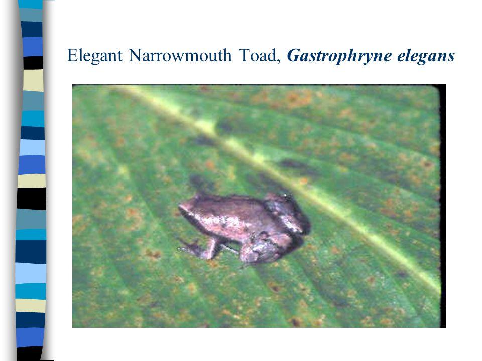 Elegant Narrowmouth Toad, Gastrophryne elegans