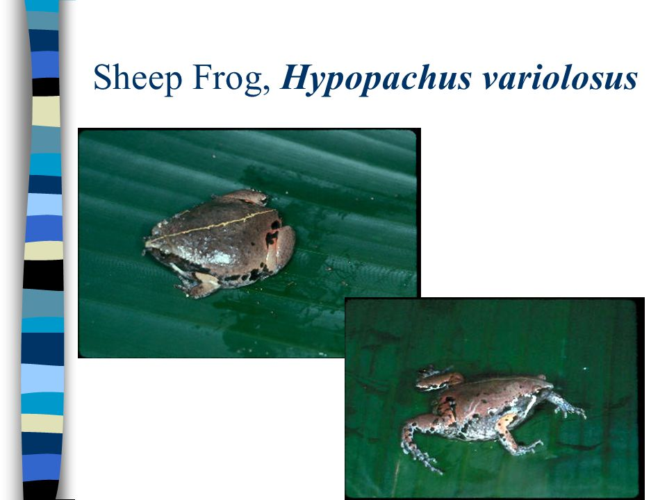 Sheep Frog, Hypopachus variolosus