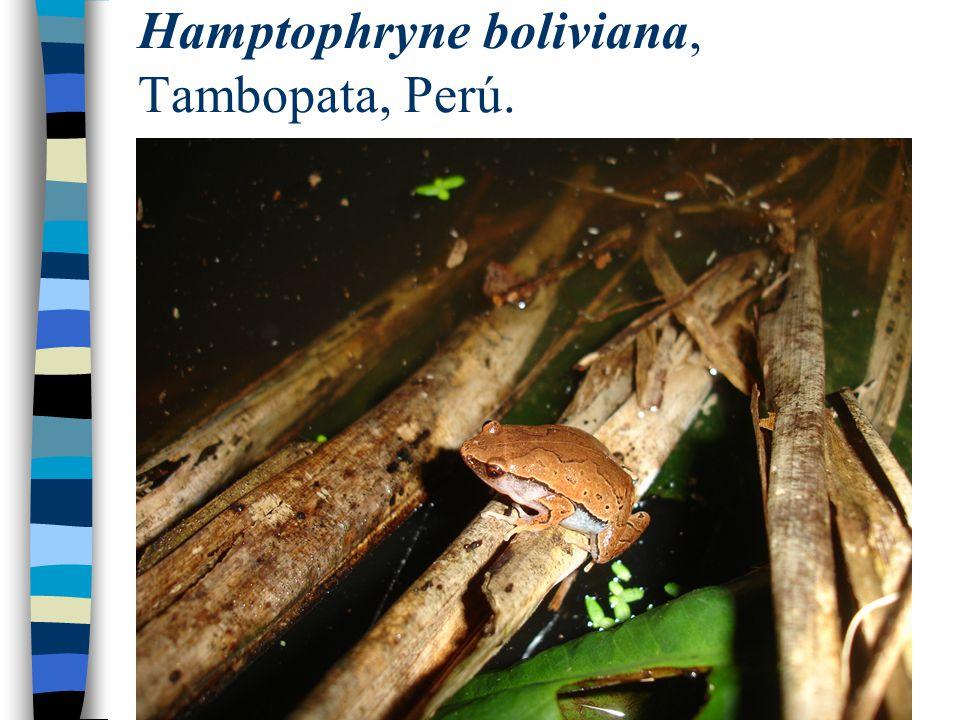 Hamptophryne boliviana, Tambopata, Perú.