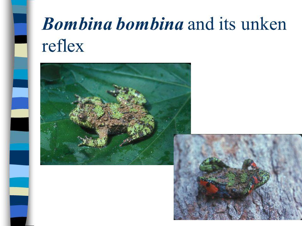 UNKEN REFLEX: A DRAB COLORED ANIMAL USES BRIGHT,APOSEMATIC COLORS TO STARTLE A PREDATOR.
