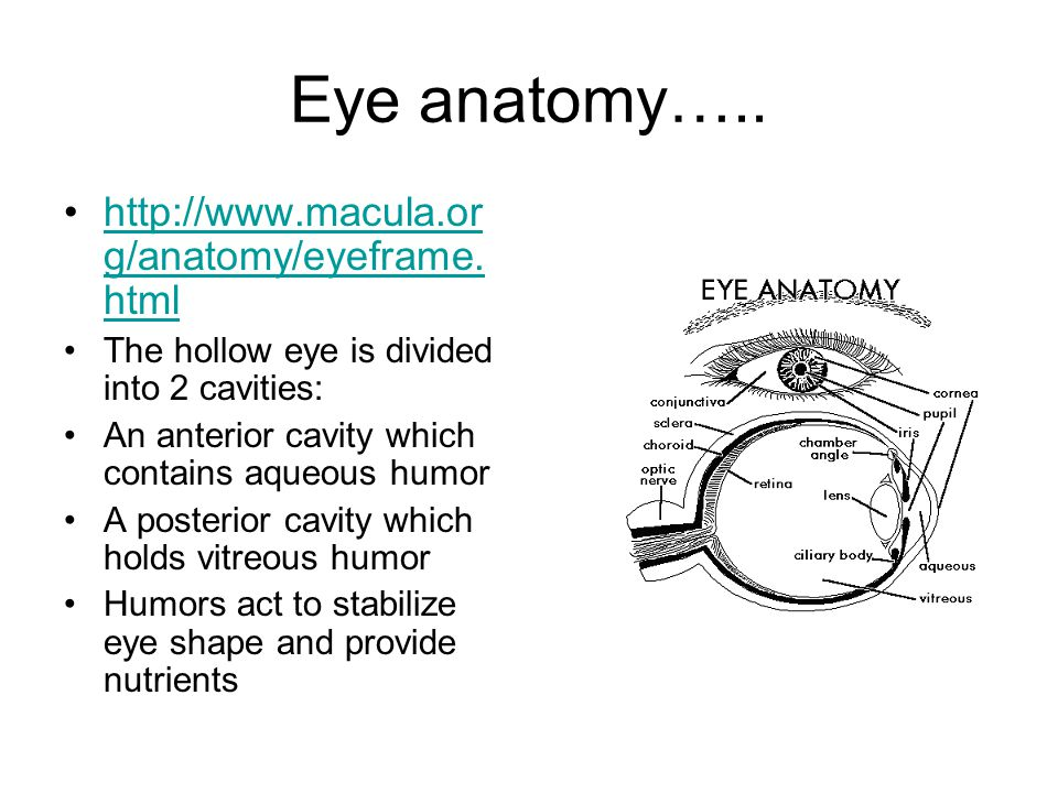Eye anatomy….. http://www.macula.or g/anatomy/eyeframe. htmlhttp://www.macula.or g/anatomy/eyeframe. html The hollow eye is divided into 2 cavities: A