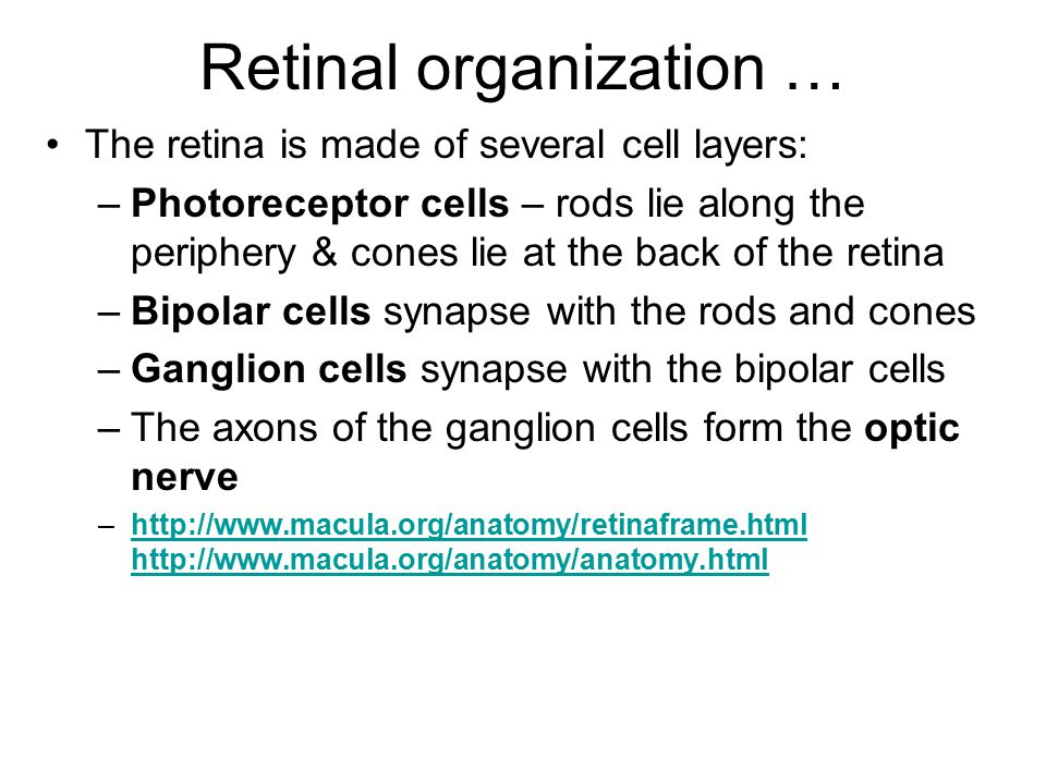 Retinal organization … The retina is made of several cell layers: –Photoreceptor cells – rods lie along the periphery & cones lie at the back of the r