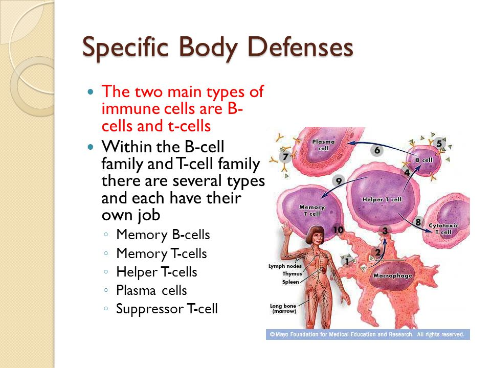 Specific Body Defenses The two main types of immune cells are B- cells and t-cells Within the B-cell family and T-cell family there are several types