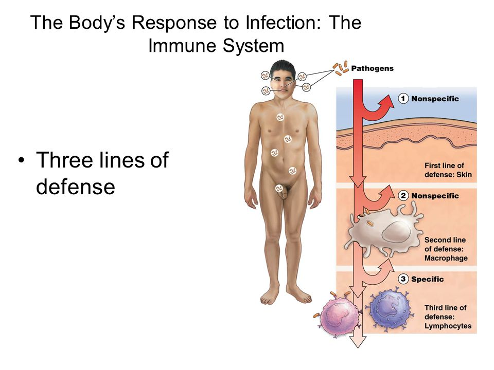 The Body's Response to Infection: The Immune System Three lines of defense