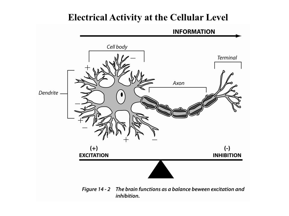 Balance There are many neurotransmitters Some excite (depolarize) Some inhibit (hyperpolarize) Some go both ways (depending on the receiving cell) A balance of excitation and inhibition