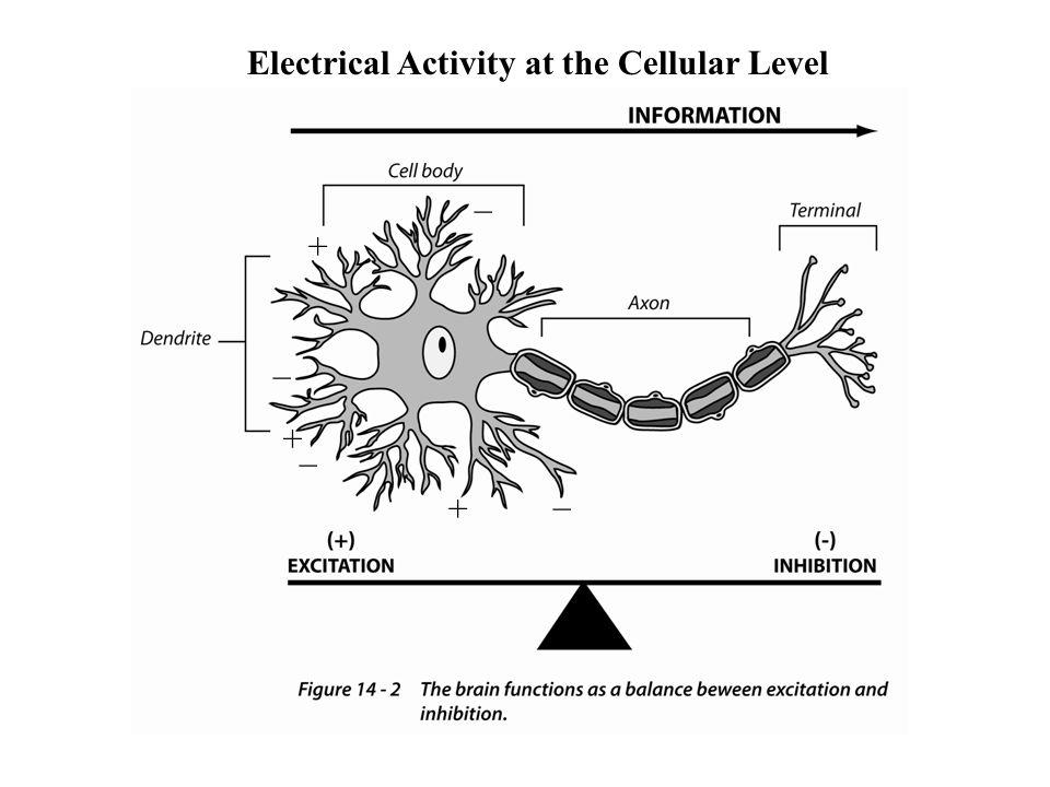 Biogenic Amines Adrenalin/noradrenalin –Stress Responses –Reward –Arousal –Mood Dopamine Motor control Social behavior Hypothalamic releasing factors
