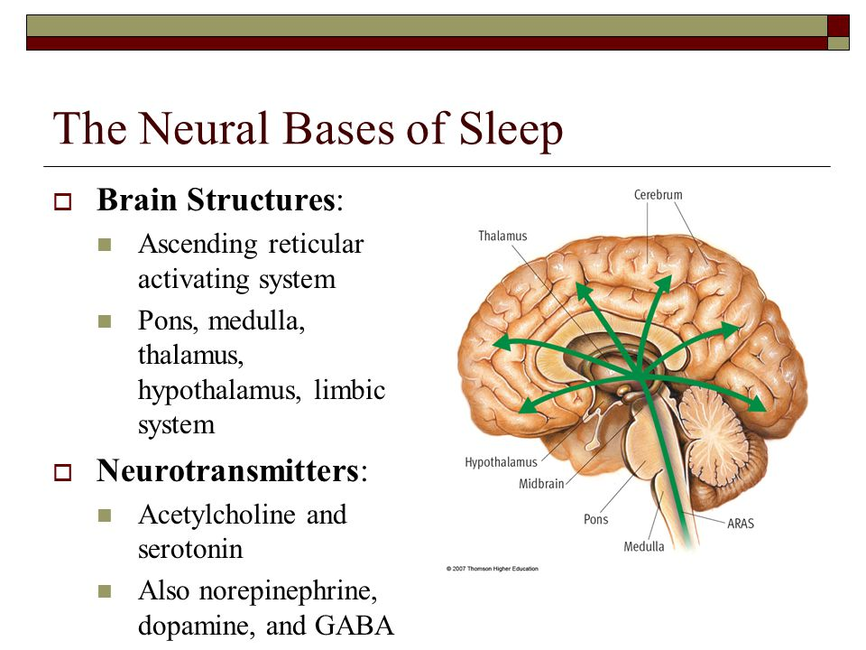 The Neural Bases of Sleep  Brain Structures: Ascending reticular activating system Pons, medulla, thalamus, hypothalamus, limbic system  Neurotransmitters: Acetylcholine and serotonin Also norepinephrine, dopamine, and GABA
