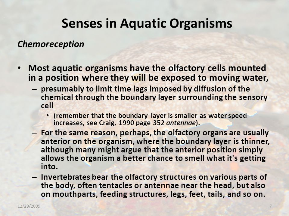 Senses in Aquatic Organisms Chemoreception Most aquatic organisms have the olfactory cells mounted in a position where they will be exposed to moving water, – presumably to limit time lags imposed by diffusion of the chemical through the boundary layer surrounding the sensory cell (remember that the boundary layer is smaller as water speed increases, see Craig, 1990 page 352 antennae).