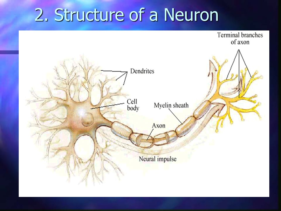 2. Structure of a Neuron