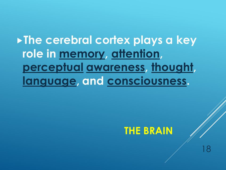 THE BRAIN 18  The cerebral cortex plays a key role in memory, attention, perceptual awareness, thought, language, and consciousness.memoryattention perceptualawarenessthought languageconsciousness