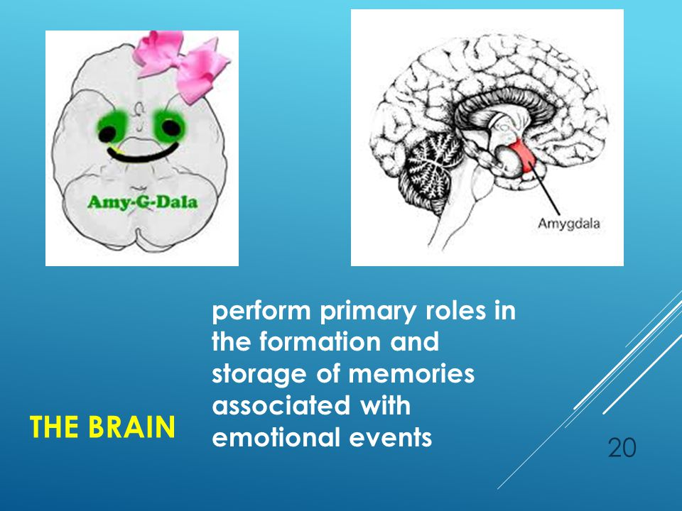 THE BRAIN 20 perform primary roles in the formation and storage of memories associated with emotional events