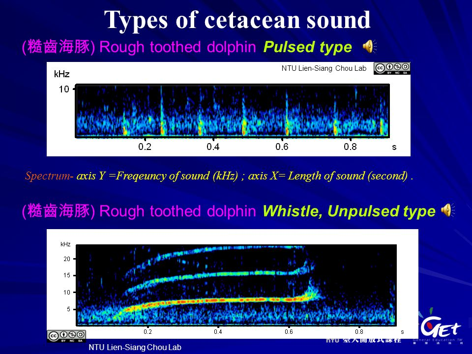Types of cetacean sound ( 糙齒海豚 ) Rough toothed dolphin Pulsed type ( 糙齒海豚 ) Rough toothed dolphin Whistle, Unpulsed type NTU Lien-Siang Chou Lab Spectrum- axis Y =Freqeuncy of sound (kHz) ; axis X= Length of sound (second).