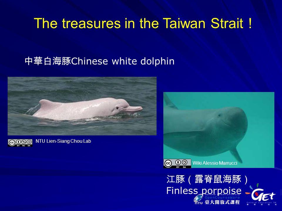 江豚(露脊鼠海豚) Finless porpoise 中華白海豚 Chinese white dolphin The treasures in the Taiwan Strait ! Wiki Alessio Marrucci NTU Lien-Siang Chou Lab