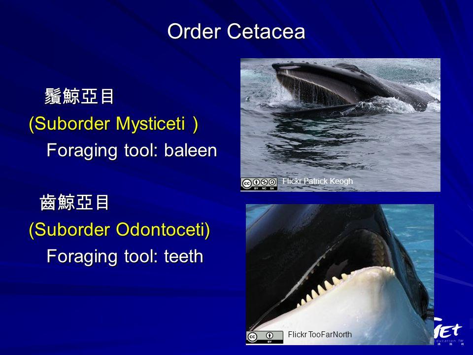 Order Cetacea 鬚鯨亞目 鬚鯨亞目 (Suborder Mysticeti ) Foraging tool: baleen 齒鯨亞目 齒鯨亞目 (Suborder Odontoceti) Foraging tool: teeth Flickr Patrick Keogh Flickr TooFarNorth