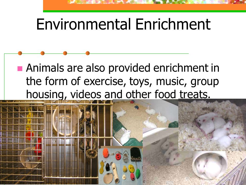 Animals are also provided enrichment in the form of exercise, toys, music, group housing, videos and other food treats.