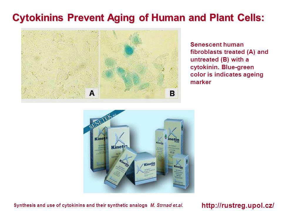 Senescent human fibroblasts treated (A) and untreated (B) with a cytokinin.