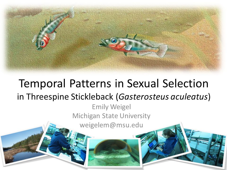 Temporal Patterns in Sexual Selection in Threespine Stickleback (Gasterosteus aculeatus) Emily Weigel Michigan State University weigelem@msu.edu