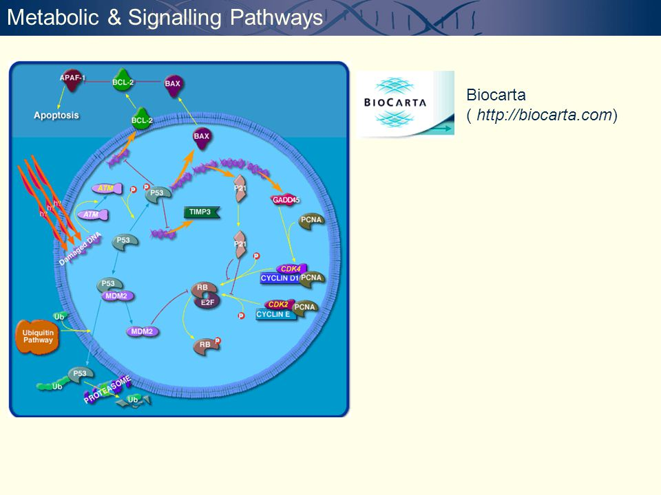 Metabolic & Signalling Pathways Biocarta ( http://biocarta.com)