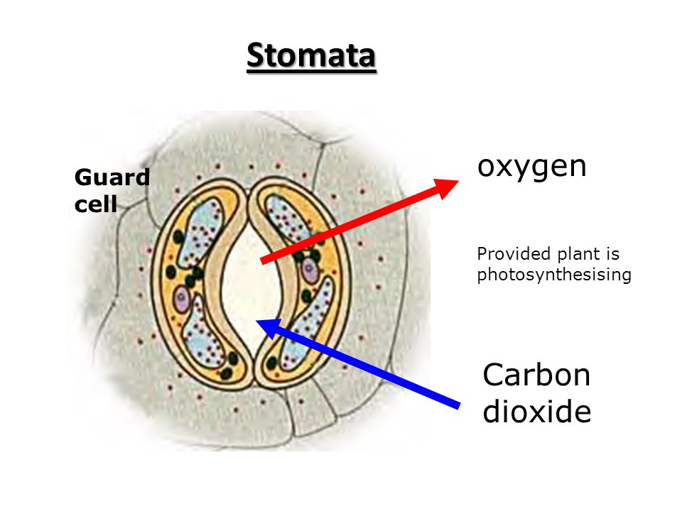 Stomata Carbon dioxide oxygen Guard cell Provided plant is photosynthesising