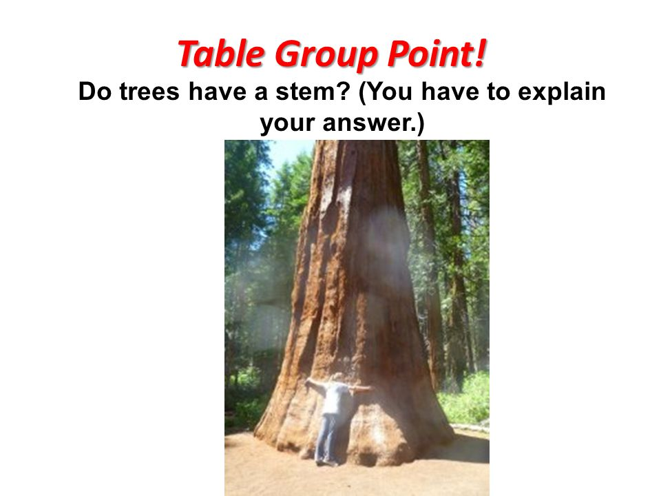 Table Group Point! Do trees have a stem (You have to explain your answer.)