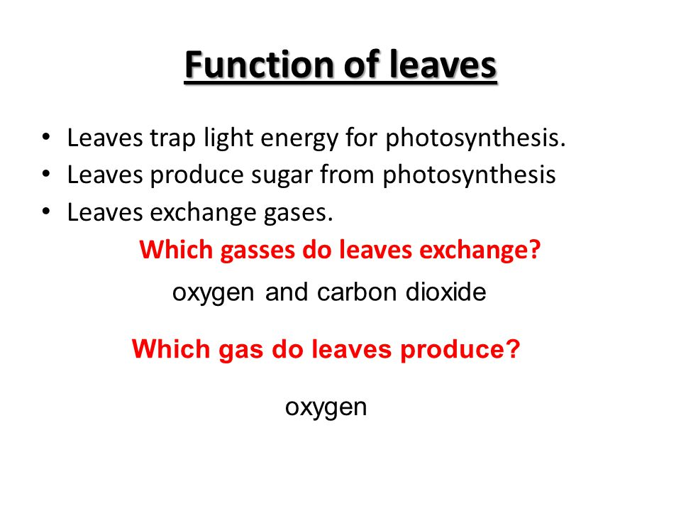 Function of leaves Leaves trap light energy for photosynthesis. Leaves produce sugar from photosynthesis Leaves exchange gases. Which gasses do leaves