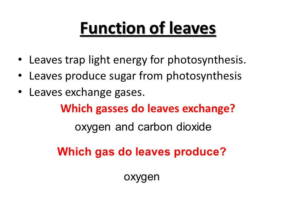 Leaf Structure Leaf Width: Wider leaves catch more light energy.