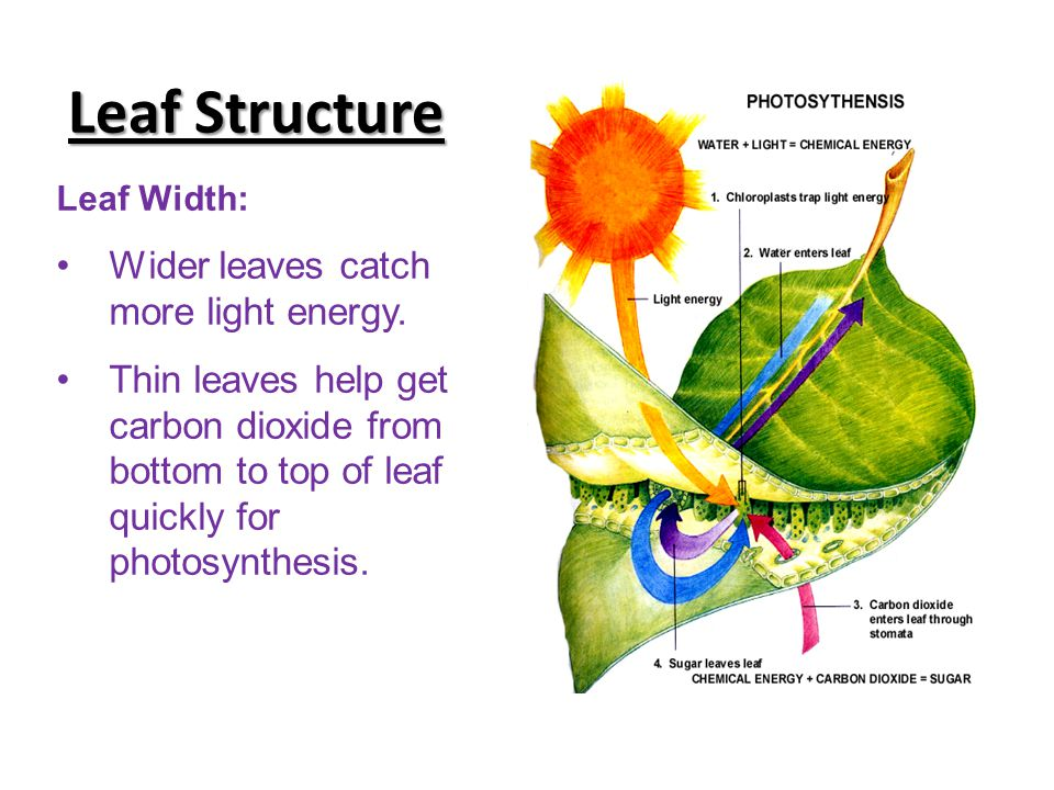 Leaf Structure Leaf Width: Wider leaves catch more light energy. Thin leaves help get carbon dioxide from bottom to top of leaf quickly for photosynth