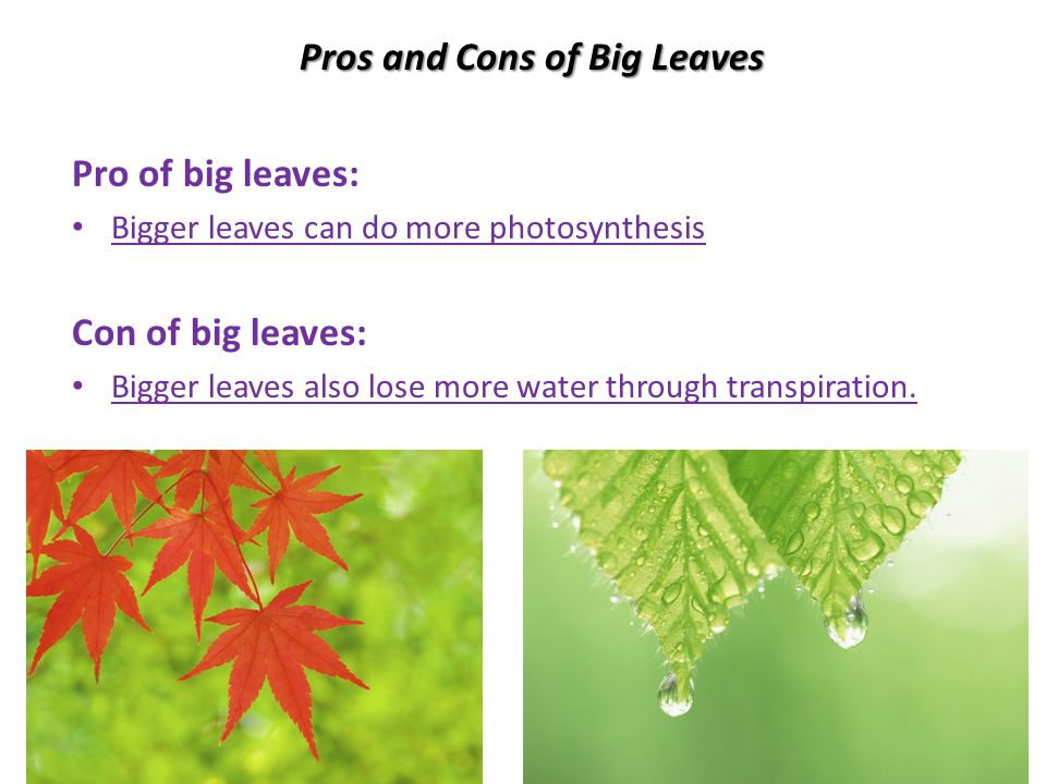 Pros and Cons of Big Leaves Pro of big leaves: Bigger leaves can do more photosynthesis Con of big leaves: Bigger leaves also lose more water through transpiration.