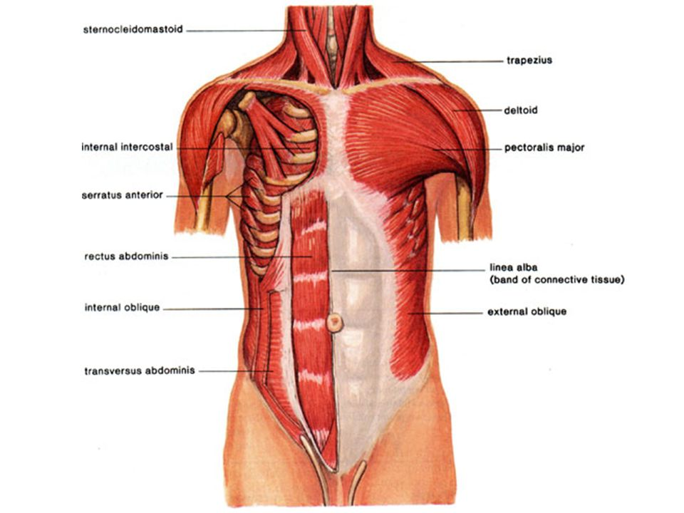 Fantastic Anatomy Of The Stomach Muscles Gift - Anatomy And ...
